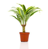 Dracaena fragrans (cornstalk dracaena). On a white background Royalty Free Stock Photo