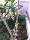 Dracaena fragrans flower. Dracaena fragrans or Cornstalk dracaena flower Royalty Free Stock Photo
