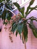 Dracaena fragrans flower. Dracaena fragrans or Cornstalk dracaena flower Stock Photo