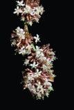 Dracaena fragrans flower. Dracaena fragrans cornstalk flower isolated on black background Royalty Free Stock Photos