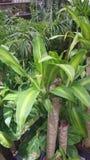 Dracaena fragrans Massangeana, corn plant Royalty Free Stock Photos