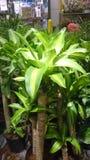 Dracaena fragrans Massangeana, corn plant Royalty Free Stock Images