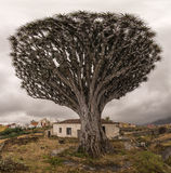 Dracaena gigante viejo con la casa abandonada Fotos de archivo