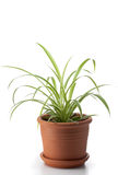 Dracaena house plant Royalty Free Stock Photography