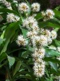 Dracaena kwiatów okwitnięcie Obrazy Royalty Free