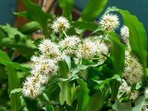 Dracaena kwiatów okwitnięcie Obraz Royalty Free