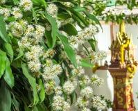 Dracaena kwiatów okwitnięcie Zdjęcia Stock