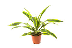 Dracaena Lemon Lime Stock Photography