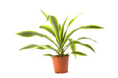 Dracaena Lemon Lime Royalty Free Stock Images