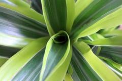 Dracaena Lemon lime closeup. Top view stock photos