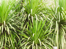 The dracaena loureiri Gagnep. Top bright green bushes Royalty Free Stock Photography