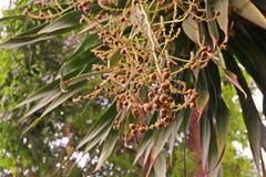 Dracaena loureiri, grow on limestone in mountainous areas Royalty Free Stock Photo