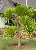 Dracaena loureiri tree Stock Photos