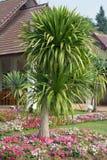 Dracaena loureiri tree Stock Photo