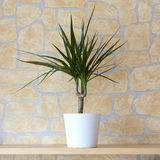 Dracaena marginata Stock Photography