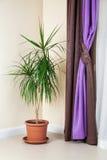 Dracaena marginata in flowerpot Stock Photo