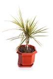 Dracaena marginata Royalty Free Stock Photo