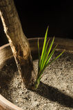 Dracaena marginata with new shoot Stock Images