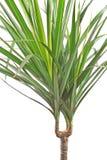 Dracaena marginata plant Stock Image