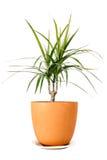 Dracaena marginata in a pot Royalty Free Stock Photos