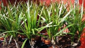 Dracaena marginata Stock Photo