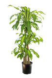 Dracaena Massangeana, planta de Varigated de maíz aislada en blanco Imagenes de archivo