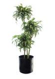 Dracaena nana conservata in vaso Warneckii isolato su bianco immagine stock