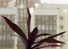 Dracaena på fönstret Arkivbild