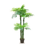 Dracaena palm in a pot isolated over white Stock Image