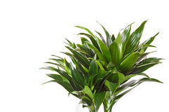 Dracaena plant Royalty Free Stock Photography