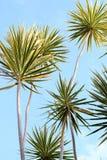 Dracaena Plant Stock Photo