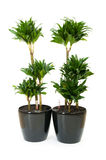 Dracaena plant isolated Stock Images