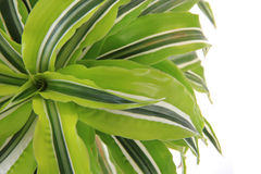 dracaena plant Stock Images