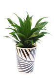 Dracaena plant in pot isolated on white Stock Photos