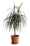 Dracaena plant in pot isolated on white background Royalty Free Stock Images