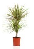 Dracaena plant royalty free stock photos