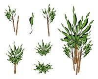 A Set of Isometric Yucca Tree or Dracaena Plant Royalty Free Stock Photos