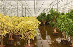 Dracaena plants in a hydroculture plant nursery Stock Photography