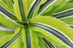 Dracaena plat Stock Photography