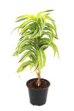 Dracaena plat Royalty Free Stock Photo