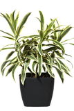 Dracaena in a pot Royalty Free Stock Images