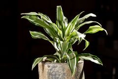 Dracaena in the pot Royalty Free Stock Photos