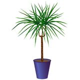 Dracaena in a pot. Isolated Royalty Free Stock Photo
