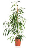 Dracaena in a pot Royalty Free Stock Photos