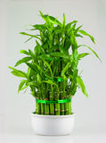 Dracaena pyramide Royalty Free Stock Photos