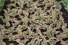 The Dracaena reflexa on the lawn in the botanical garden Stock Image