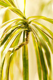 Dracaena reflexa Royalty Free Stock Photos