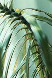 Dracaena reflexa Stock Photography