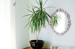 Dracaena reflexa in the pot. Modern interior of a living room. Close-up royalty free stock photography