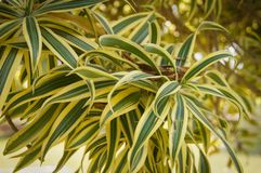 Dracaena reflexa or Song of India. Leaves beautiful Dracaena reflexa or Song of India Royalty Free Stock Image